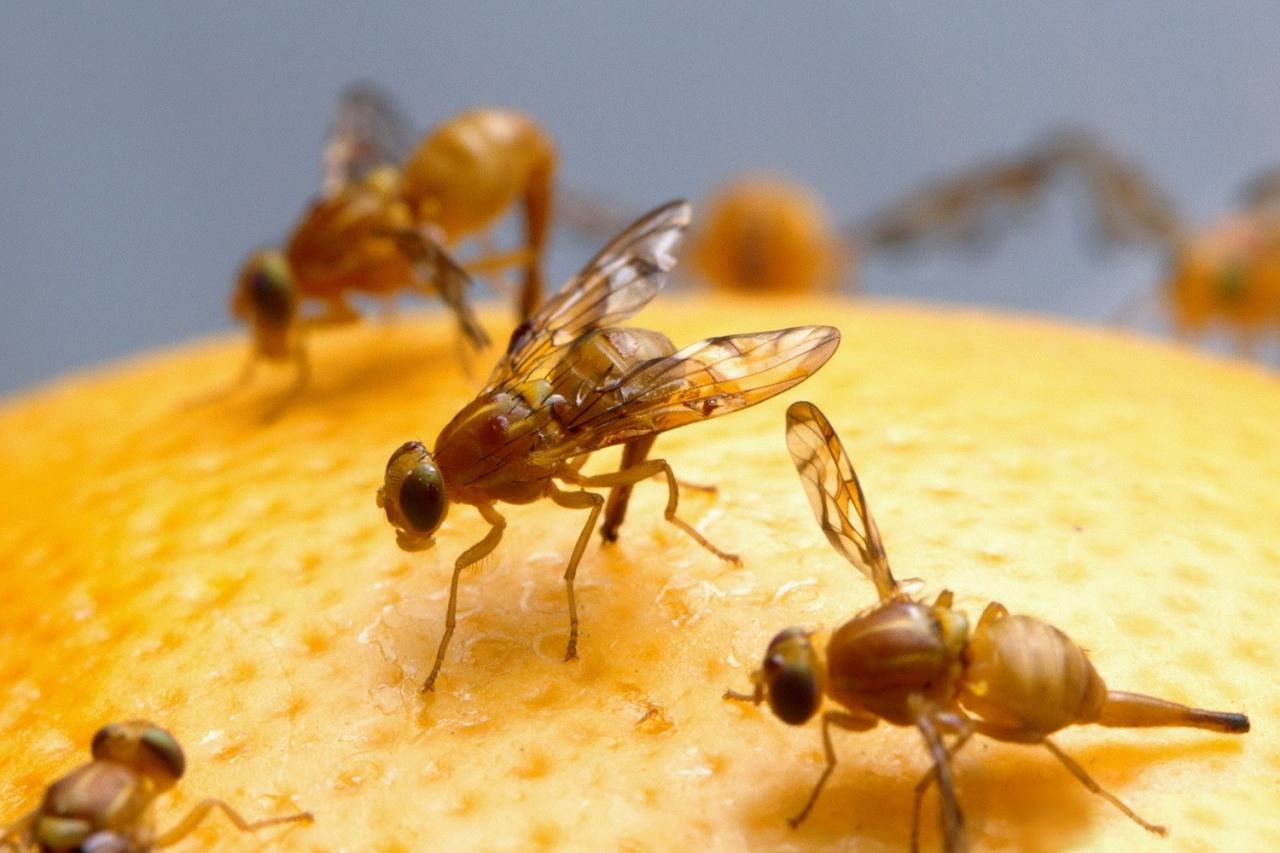 Плодовая муха в партии мандаринов