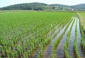 Как накормить рис, чтобы выйти на новый рекорд