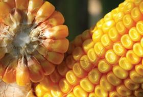 Кукуруза на зерно – это выгодно!