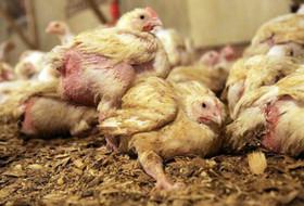 Сальмонеллез у цыплят