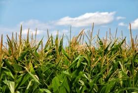 Комплексная  агротехнология для кукурузы