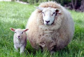 Как сделать овцеводство высокорентабельной отраслью
