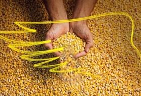 DEKALB поделился опытом возделывания кукурузы
