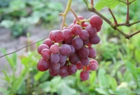 Как повысить эффективность производства винограда