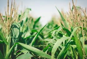 Каждый второй гектар кукурузы в Приморье возделывается с использованием агротехнологий Corteva