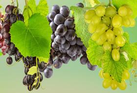 Новые инсектициды «Щелково Агрохим» в помощь виноградарям