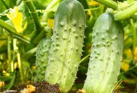 Проверенный способ повышения урожайности овощей
