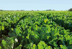 Фитосанитарное обследование полей сахарной свеклы – основа надежной защиты урожая