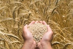 Как накормить пшеницу, чтобы получить качественное зерно