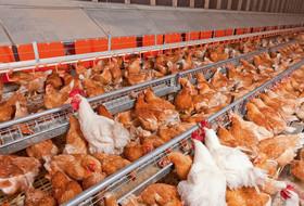 Важность своевременной диагностики бактериальных заболеваний птиц в птицеводстве