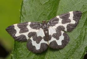 Бабочки пяденицы