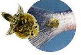 Проблема паразитарных заболеваний рыб в Ставропольском крае, пути и методы решения