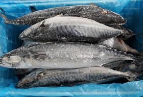 Анизакидоз морских рыб