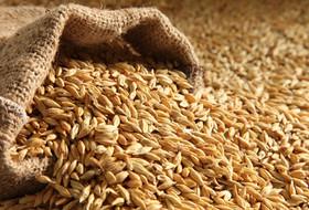Большое орловское зерно