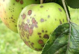 Новый инструмент защиты яблони от парши и мучнистой росы