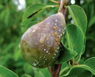 Бактериальный ожог плодовых и шарка (оспа) слив
