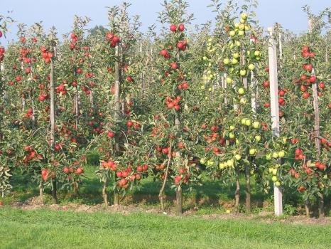 У ставропольских яблок особый вкус