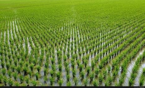 Как миллион тонн риса сделать традицией