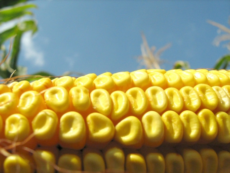 Кукурузный пояс России становится шире