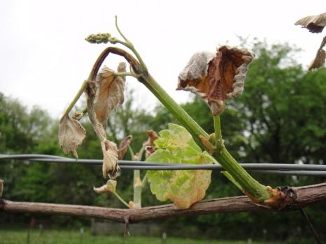 ПОЛИДОН® КРИОПРОТЕКТОР –  надежная защита от весенних заморозков