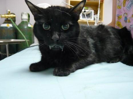 Калицивироз - широко распространенное инфекционное заболевание кошек