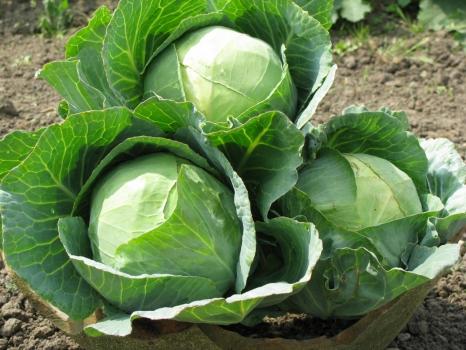 Овощи открытого грунта:  эффективность применения удобрений от «Агролиги»