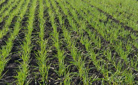 Реанимация посевов озимых зерновых