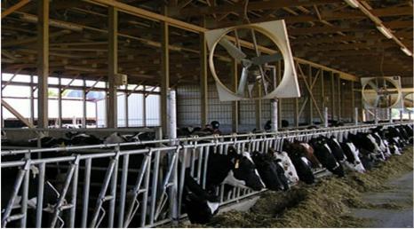 Охлаждение коров в жаркое время года