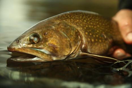 Диплостомоз рыб