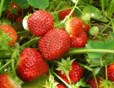 Технология выращивания земляники садовой с использованием рассады «фриго»