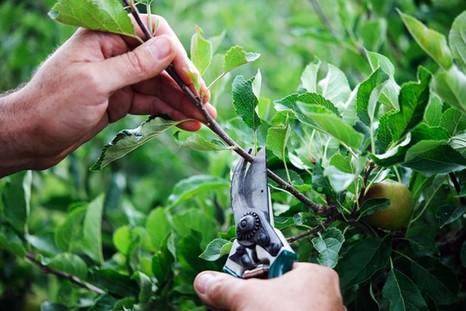 Как провести обрезку молодого сада