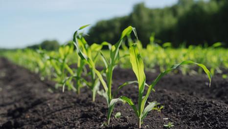 ПОЛИДОН®: накормит кукурузу, чтобы та накормила вас