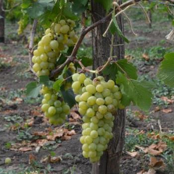 Наступил сезон  уборки и переработки винограда