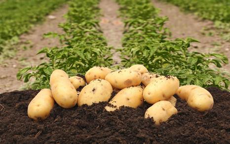 ПОЛИДОН®: «ключ» к большому картофелю