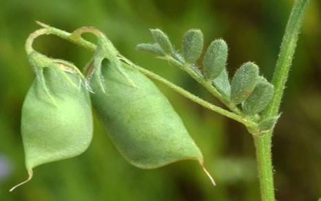 Успешная практика возделывания зернобобовых культур