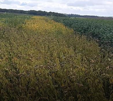 Вклад в урожайность каждого элемента защиты сои – от обработки семян до до десикации