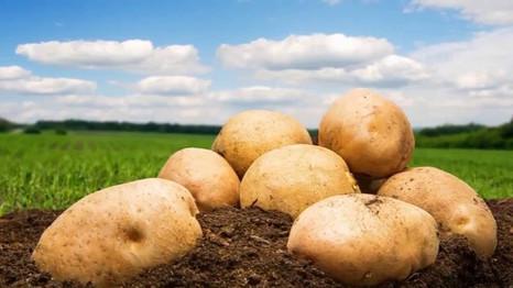 Как дополнительно получить до 50 000 рублей с одного гектара картофеля