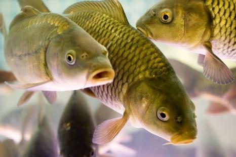 Первые по аквакультурам