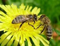 Цитробактериоз пчел