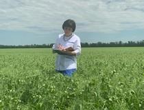 Проведена апробация семенного посева гороха