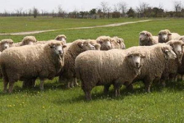 Овцы волгоградской породы