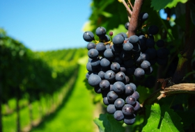 Как снизить пестицидную нагрузку на виноградники?
