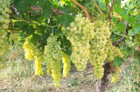 Как уберечь сады и виноградники от мороза