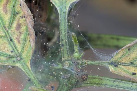 Паутинный клещ на перцах в теплице