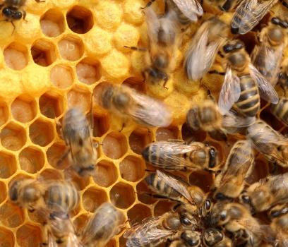 Опасные болезни пчел
