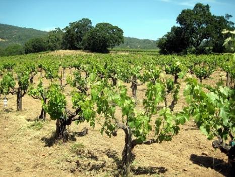 Особенности применения микробиологических инсектицидов на виноградниках